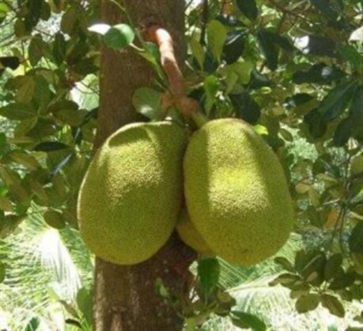 Tả cây ăn quả em đã thấy trong vườn nhà ông bà em