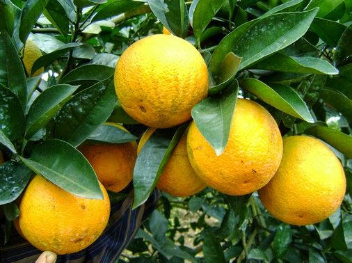 Tả quả cam mà em yêu thích