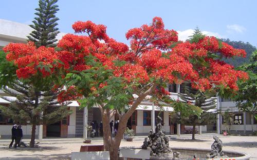 Tả về cây phượng trong sân trường em