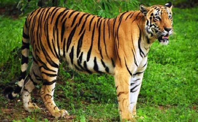 Bài văn tả con hổ mà em từng nhìn thấy