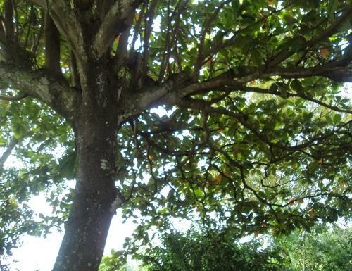Dàn ý tả cây bàng