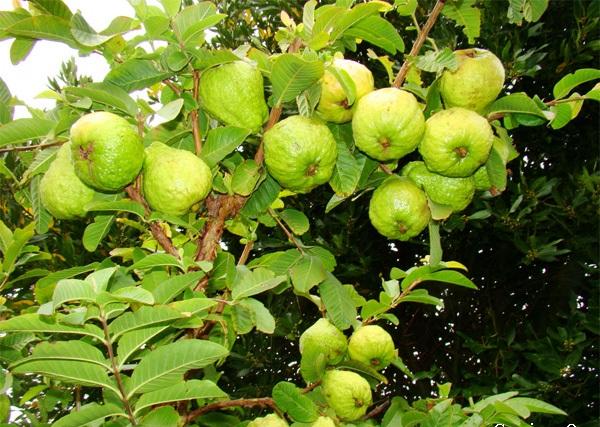 ta cay an qua lop 7 - Tả cây ăn quả lớp 7