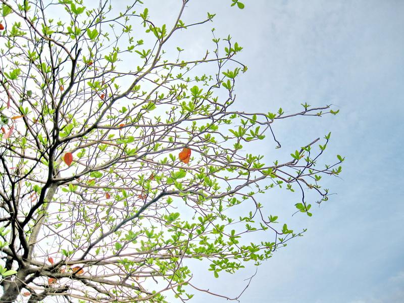 ta cay bang vao mua xuan - Tả cây bàng vào mùa xuân