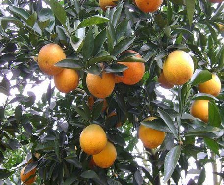 Tả cây cam mà em biết