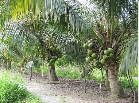 ta cay dua lop 4 - Tả cây dừa mà em từng nhìn thấy lớp 4