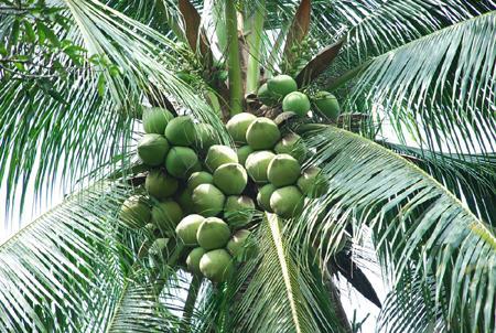 Tả cây dừa mà em đã từng nhìn thấy lớp 7