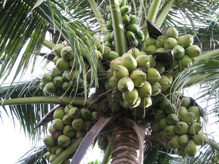 Tả cây dừa mà em biết