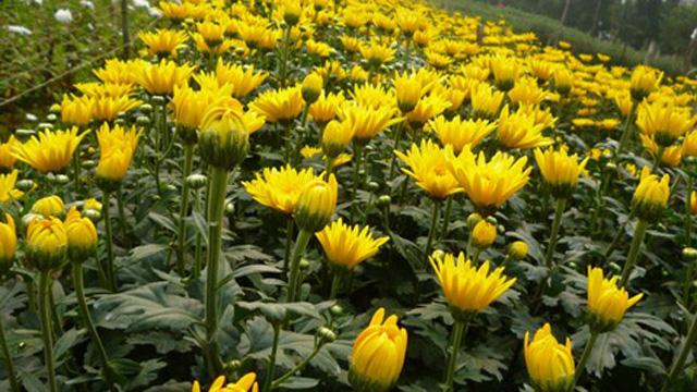 Tả cây hoa cúc mà em yêu thích