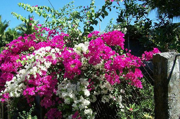 Tả cây hoa giấy mà em từng nhìn thấy