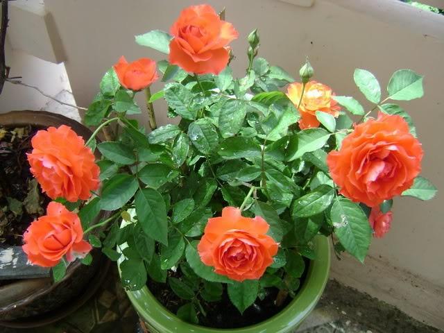 ta cay hoa hong nhung - Tả cây hoa hồng nhung
