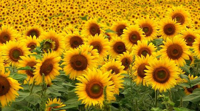 Tả cây hoa hướng dương mà em yêu thích