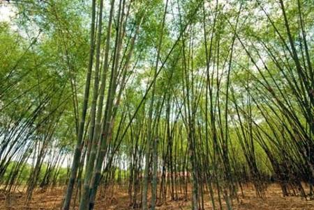 Tả cây tre Việt Nam mà em đã từng nhìn thấy