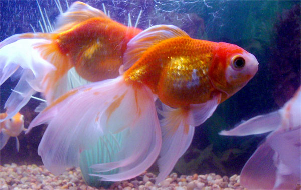 Tả con cá vàng trong hồ nước
