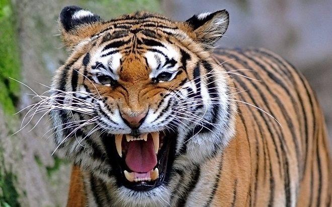 Tả con hổ trong vườn bách thú