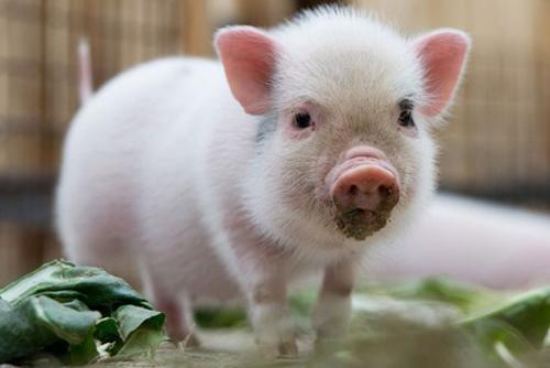 ta con lon - Tả con lợn mà em đã từng nhìn thấy