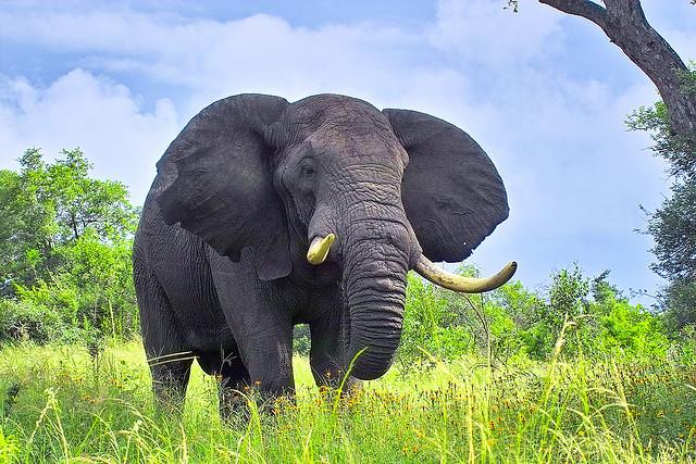 Tả con voi mà em từng nhìn thấy lớp 4