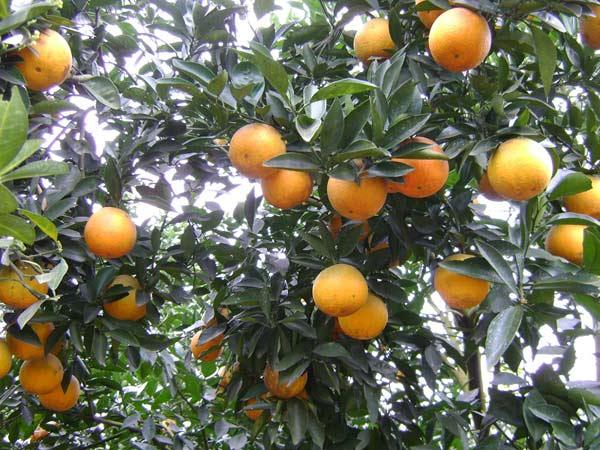 Tả cây cam lớp 5