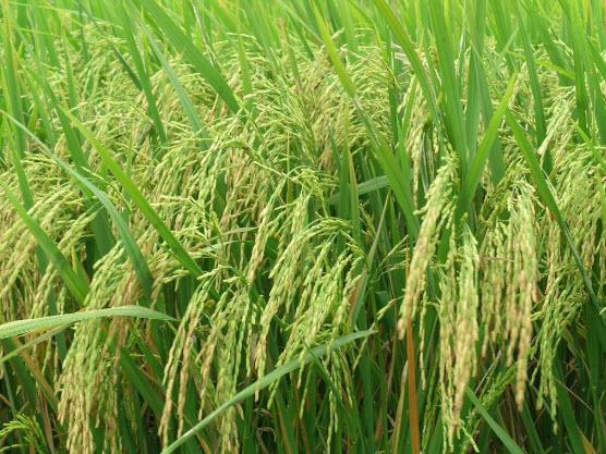 Tả cây lúa mà em đã từng nhìn thấy