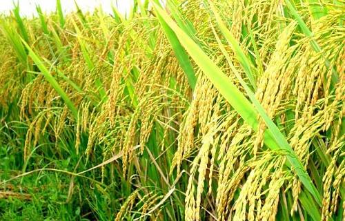 Thuyết minh về cây lúa nước Việt Nam